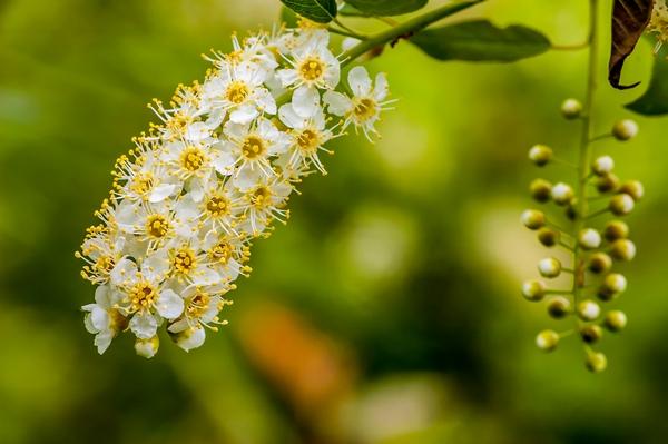 Czeremcha amerykańska - kwiaty