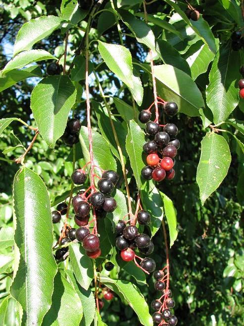 Czeremcha amerykańska - owoce