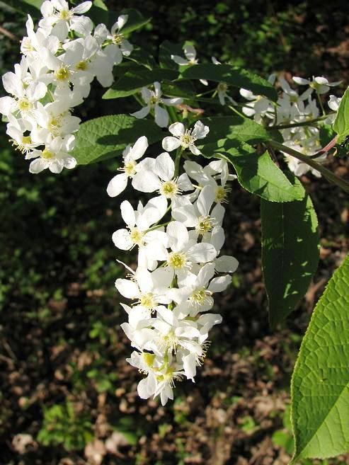 Czeremcha zwyczajna - kwiaty