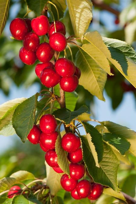 Czereśnie - odmiany, uprawa i przycinanie