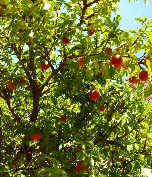 Brzoskwinie w sadzie