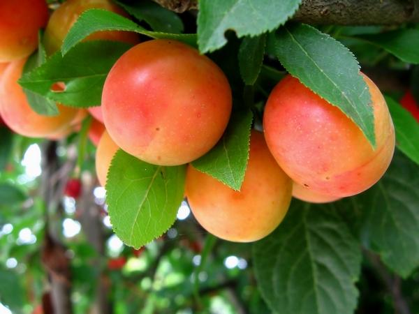Drzewa Owocowe – Śliwy