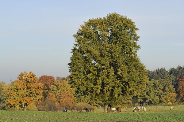 Duże drzewa - Dąb