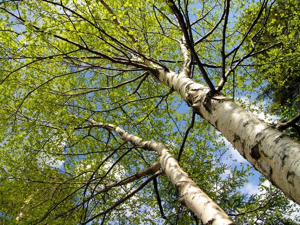 Duże drzewa - Brzoza