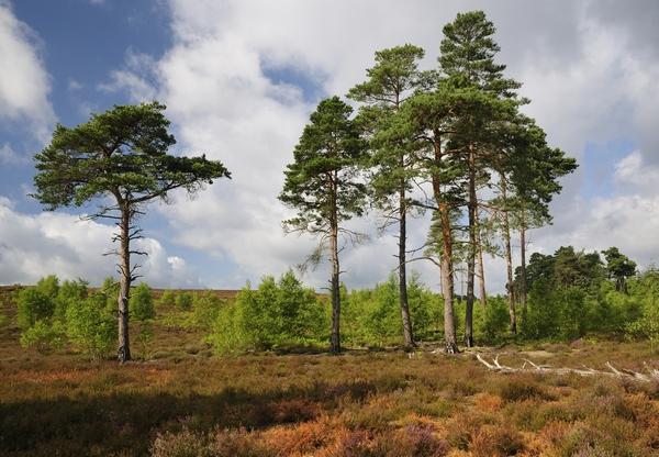 Duże drzewa - Sosna