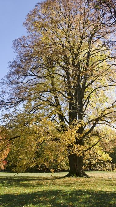 Duże drzewa - Lipa