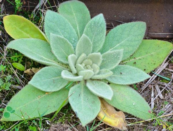 Dziewanna drobnokwiatowa