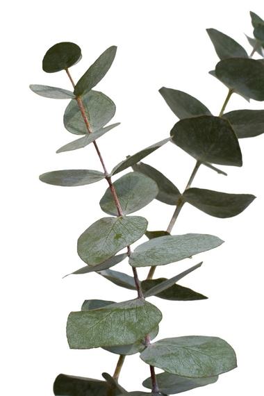 Eukaliptus niebieski