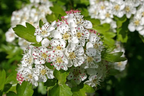 Głóg - kwiaty