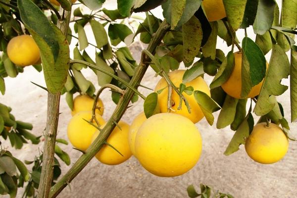 Grejpfrut - właściwości, kalorie i witaminy