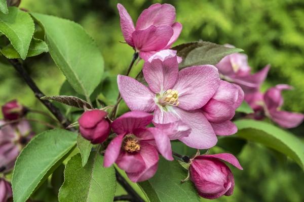 Jabłoń purpurowa