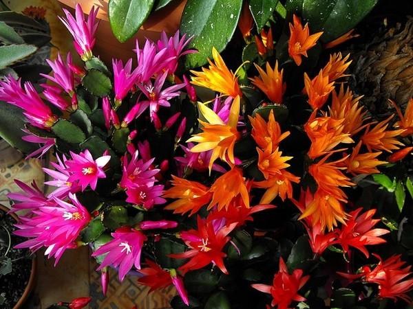 Kaktus wielkanocny - zdjęcie Arietta