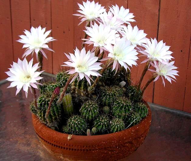 Kwitnące kaktusy
