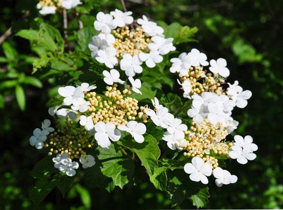 Kalina - kwiaty