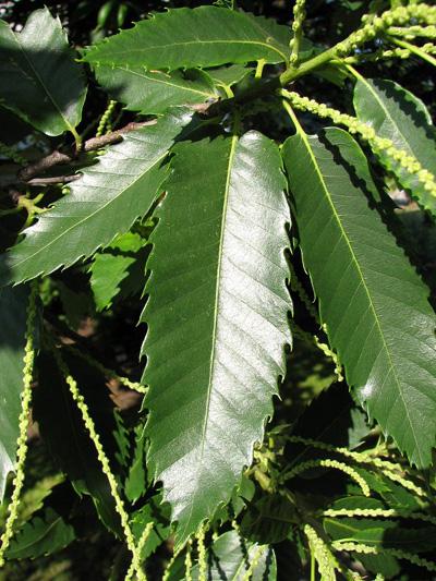 Kasztan jadalny - liście