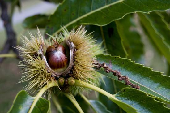 Kasztan jadalny - owoce