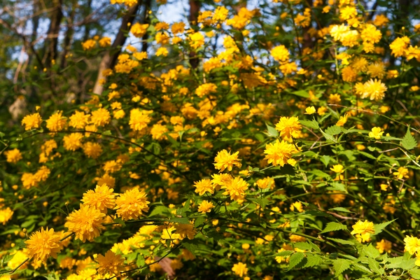 Krzewy liściaste do ogrodu