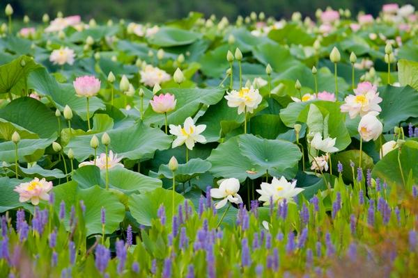 Kwiaty lotosu