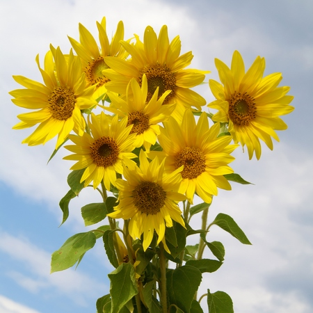 Kwiaty cięte - słoneczniki