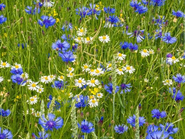 Kwiaty polskie - chabry