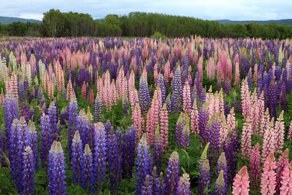 Kwiaty polskie - łubin