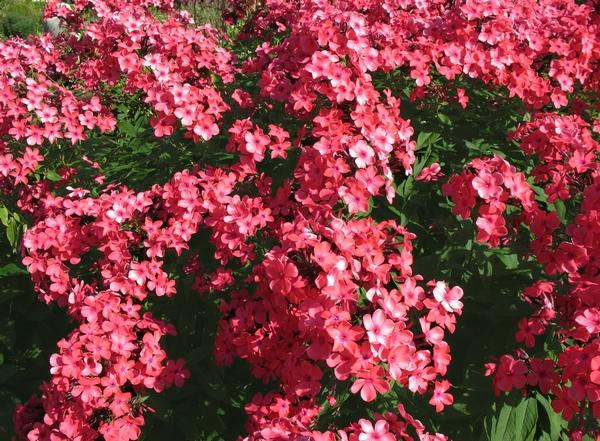 Kwiaty polskie - floks