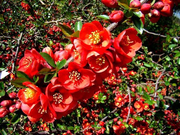 Kwiaty pigwowca