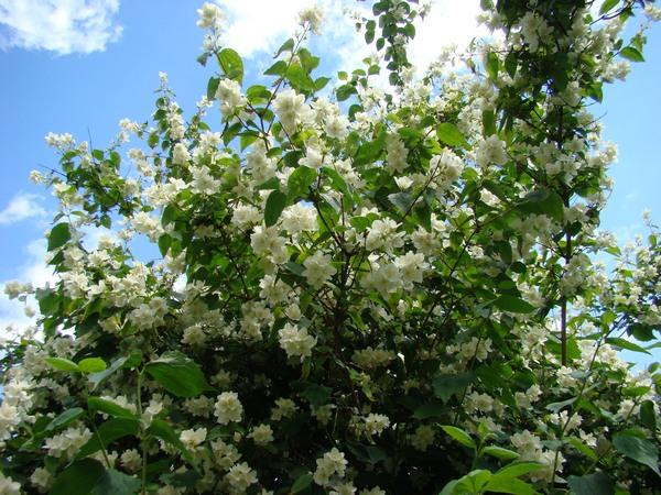 Kwitnące krzewy do ogrodu - jaśminowiec wonny