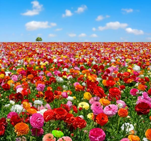 Letnie kwiaty - jaskry