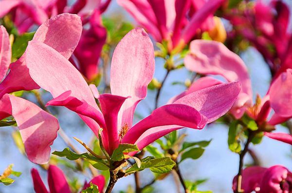"""Magnolia """"Betty"""""""