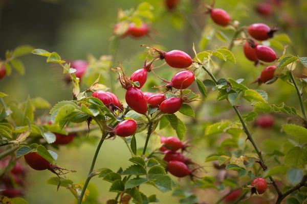 Nalewka z dzikiej róży - owoce