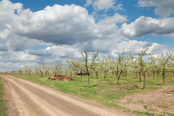 Nawożenie jabłoni i gruszy