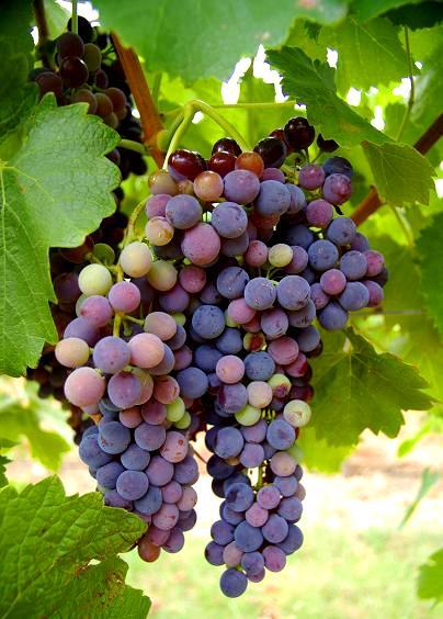 Winogrona ogrodowe