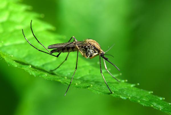 Oprysk na komary – komary w ogrodzie