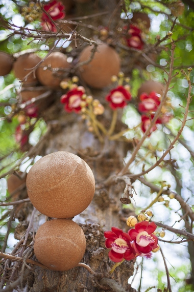 Orzech brazylijski – drzewo