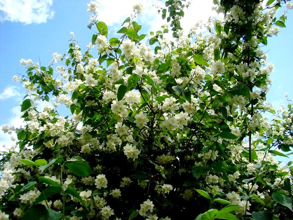 Pachnące krzewy jaśminowca