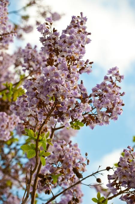 Paulownia puszysta - cesarskie drzewko szczęścia