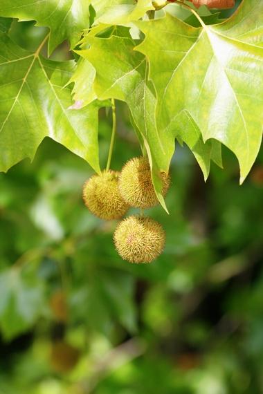 Platan klonolistny - owoce