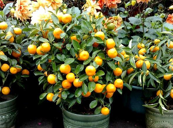 Pomarańcza w doniczce