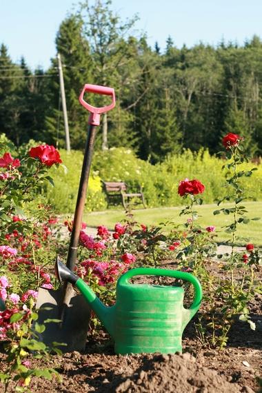 Przesadzanie róż