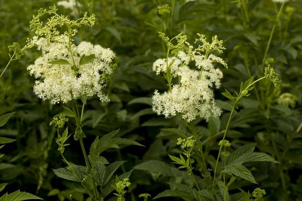 Rośliny bagienne - Wiązówka błotna
