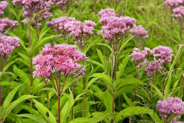 Rośliny bagienne - Sadziec konopiasty