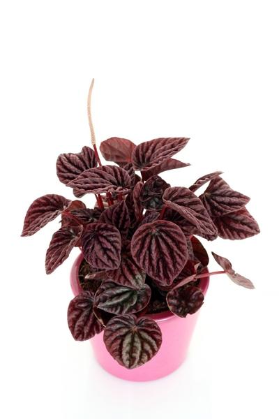 Rośliny doniczkowe cieniolubne – peperomia