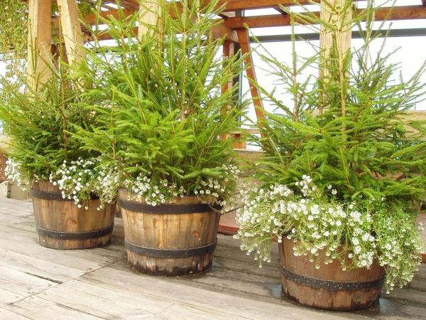 Rośliny iglaste na taras i balkon