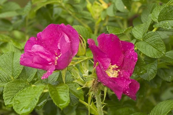 Rośliny inwazyjne - róża pomarszczona
