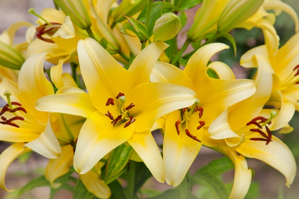 Rośliny ogrodowe na kwiaty cięte