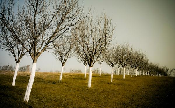 Rośliny zimą - bielenie drzew