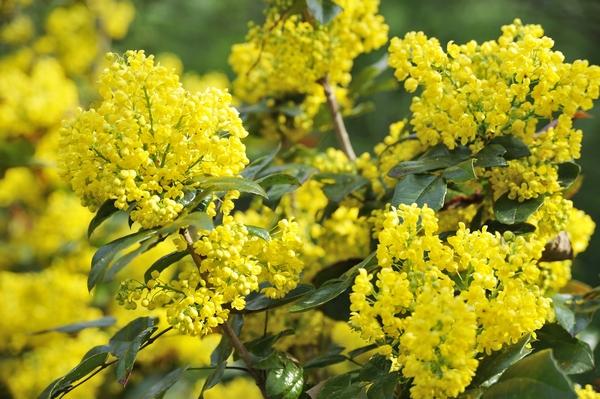 Rośliny zimozielone - Mahonia pospolita
