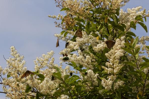 Rośliny zimozielone - Laurowiśnia wschodnia