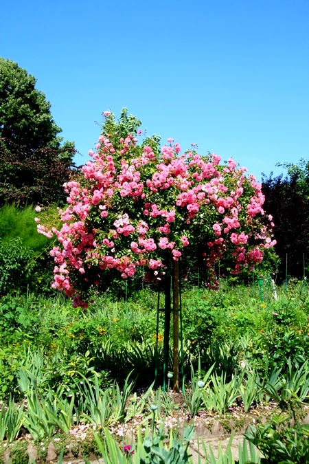 Róże pienne
